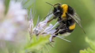 Bumblebee collecting pollen from a flower