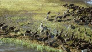 Северные олени в тундре во время сезонной миграции. Архивное фото