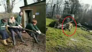 Staff at Dartmoor Zoo in a tug-of-war against a tiger.