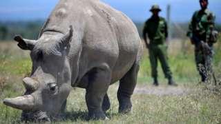 Найджін - одна із двох останніх північних білих носорогів, які залишилися у світі