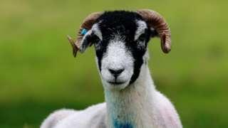 A Swaledale sheep