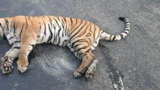 पर्सामा मारिएको बाघ