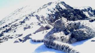 Snow leopard cubs at Altaisky nature reserve in Russia