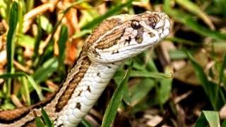 Russell's Viper ni nyoka hatari zadi nchini Bangladesh.