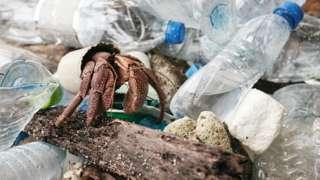 Hermit crab walking through plastic