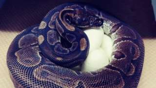 The ball python with its eggs