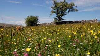 Bowber Head wildflower meadow