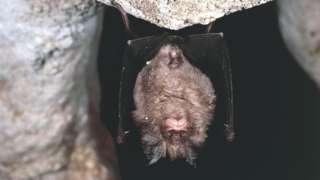 Greater horse shoe bat