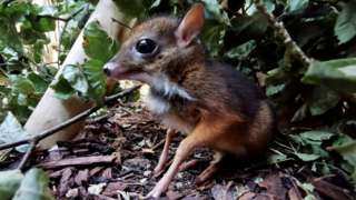 Baby mouse deer
