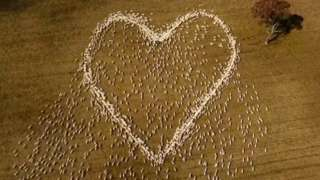 A heart made up of live sheep as seen from above