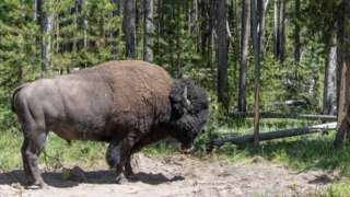 A bull bison at Yellowstone