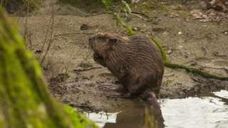 Beaver s