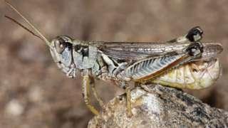 Gafanhotos são comuns na região Oeste dos EUA. Mas, segundo cientistas, houve uma explosão na população desses insetos neste ano, agravada pela seca e ondas de calor históricas