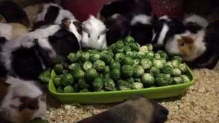 Guinea pigs eating sprouts