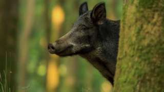 Wild boar in Forest of Dean