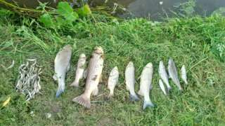 Dead fish from Rothley Brook