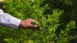 Artemisia plant at Madagascar research facility