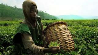 Umwana uri gusoroma icyayi mu mirima mu karere ka Gicumbi mu Rwanda