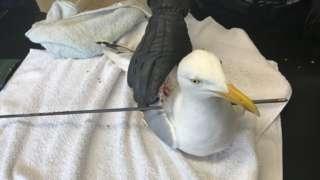 skewered gull