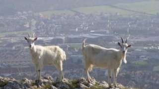goats with Llandudno in the background