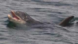 Dolphin off coast of Isle of Man