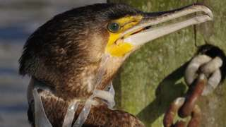 cormorant with a plastic beer-pack ring round its neck