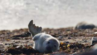 A seal pup in October 2020