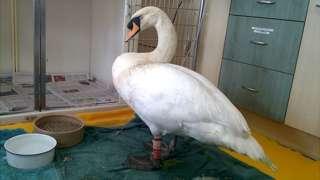 """George"" the swan"