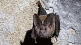 A bat pictured in a cave in Cuba