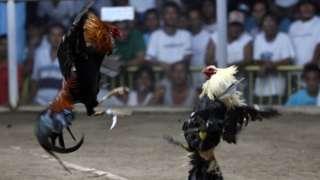 ဖိလစ်ပိုင်၊ ကြက်တိုက်ပွဲ၊ ရဲ