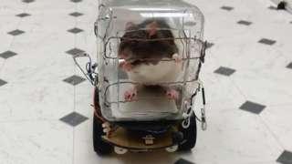 Rat in little plastic car
