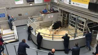 A cow in a pen in an indoor venue being looked at by a number of spectators