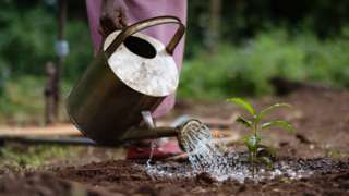 Saplings being watered in Kenya