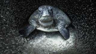 Zelena morska kornjača okružena staklenim ribicama