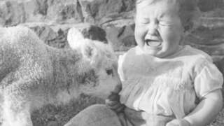 A toddler not enjoying the attention of a young lamb