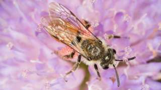 The Small Scabious Mining-bee (Andrena marginata) is rare to this part of Wales