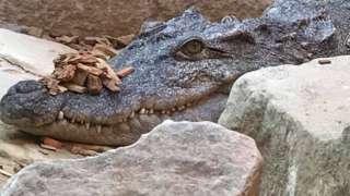 Hayley the Siamese crocodile