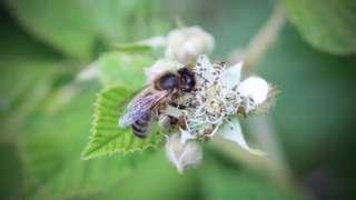 Honeybee on bramble