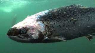 Farmed salmon with lice damage, filmed in a fish farm called 'Vacasay' in Loch Roag, Outer Hebrides.