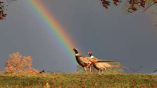 Pheasants at Blenheim Palace following a little rain shower