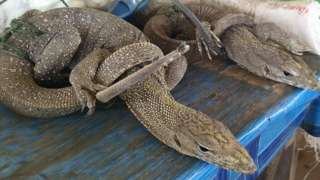 Monitor lizards being sold in Attepeu province of Lao PDR