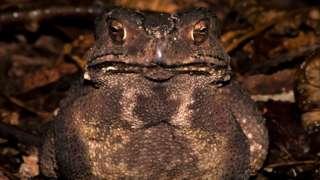 Duttaphrynus melanostictus - the Asian toad