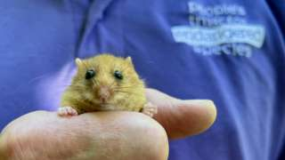 One of 30 dormice released in a secret location in Lancashire