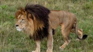 Lion inside zoo
