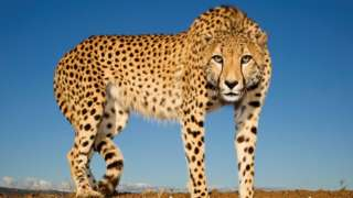 Cheetah at Zimanga Zululand