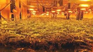 The cannabis plants