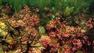 Coralline algae bed