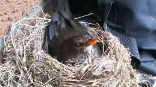 Blackbird on nest