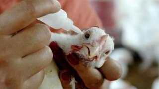 कोंबडी पिलू