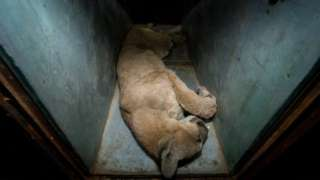 A cougar is seen after it was caught in an apartment complex in Santiago, Chile